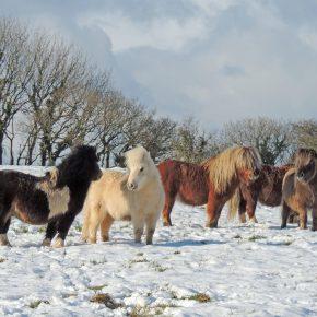 Fiona Hammond with stallions in snow